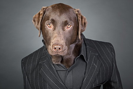 chocolate labrador: Cool Looking Chocolate Labrador in Pinstripe Suit