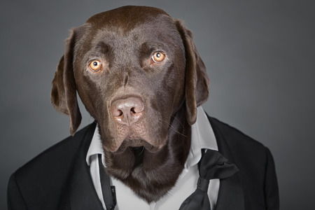 dinner wear: Cool Chocolate Labrador in Tuxedo against a Grey Background