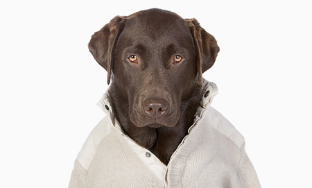 perro labrador: Chocolate hermoso Labrador en moda Cream Jumper contra un fondo blanco
