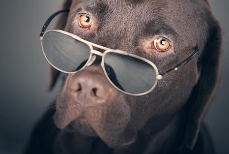 chocolate labrador retriever: Shot of a Labrador with Sunglasses