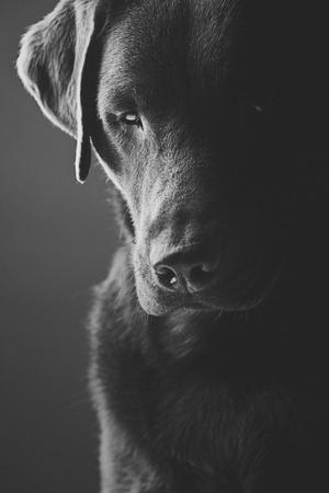 chocolate labrador retriever: Sad Chocolate Labrador