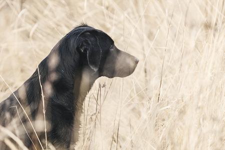 black labrador: Black Labrador in Field