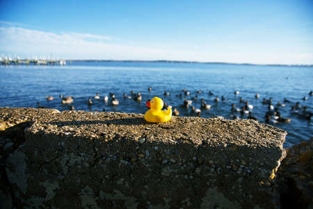 Yellow rubber ducky on rock in front of a flock of ducks