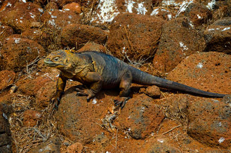 Land Iguana relaxing under a Cactus on Galapagos Island