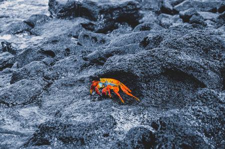 Galapagos Crab on wet dark grey rock