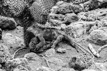 Land Iguana relaxing under a Cactus on Galapagos Island , in black and white. Stockfoto