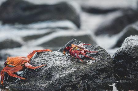 Galapagos, Sally Light Foot Crab, on wet dark grey rock