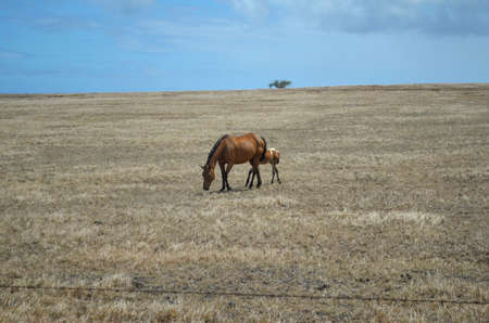 Horse in a dry grassy field on the southernmost part of Mauna Loa, the Big Island of Hawai Stockfoto