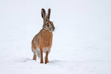 European brown hare lepus europaeus in winter. One wild animal on field covered with snow.