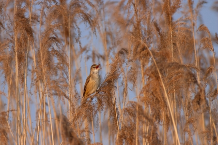 Grote rietzanger. Acrocephalus arundinaceus. Zingende vogeltje zittend op riet.