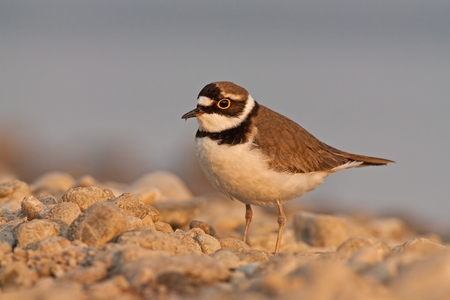 Little ringed plover during sunset with beautiful warm orange background, Charadrius dubius, little wading bird in its natural environment