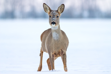 Roe deer Capreolus capreolus in winter. Roe deer with snowy background. Wild animal with snowy trees on background. Stock Photo