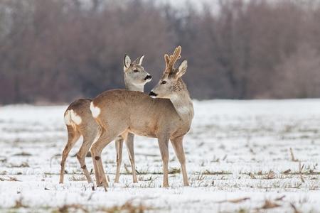 Roe deer Capreolus capreolus in winter. Roe deer buck with antlers covered in velvet. Wild animal male and female cute interaction. 스톡 콘텐츠