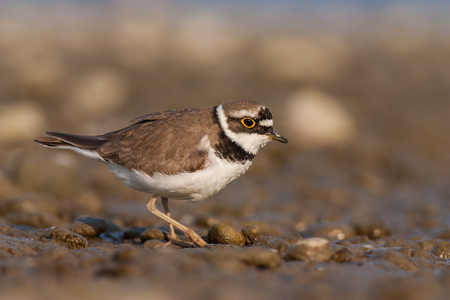 Little ringed plover, Charadrius dubius. in summer. Wild small water bird on stones.