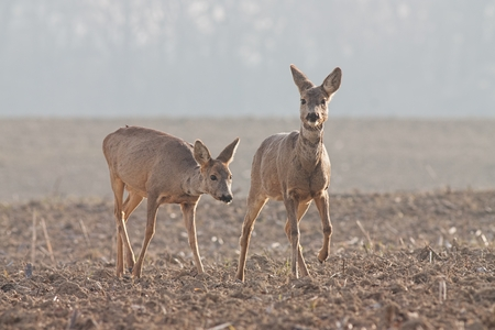 Capreolus capreolus, two Roe Deer walking. Wildlife scenery. Two wild deer migrating. Zdjęcie Seryjne