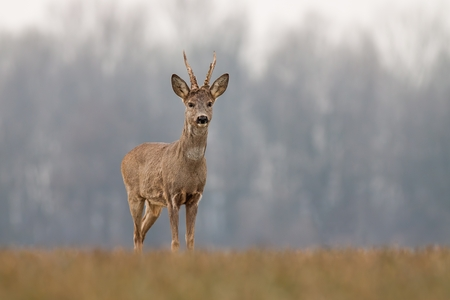 Roe deer, capreolus capreolus, in spring with new antlers. Wild animal with blurred background. Roebuck in spring. Majestic old male deer standing proudly. Wildlife scenery. Stock Photo