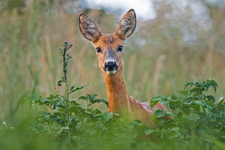 Portrait of roe deer doe female in summer. Close-up of wild animal with fresh colors. Stok Fotoğraf