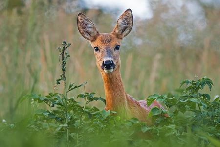 Retrato da fêmea da corça dos cervos de ovas no verão. Close-up do animal selvagem com cores frescas.