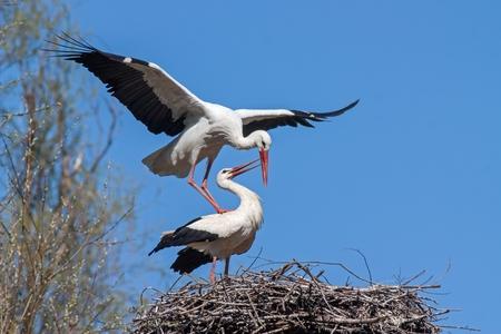Accouplement des cigognes blanches, ciconia ciconia. Animaux sauvages en accouplement sur un nid avec un ciel bleu comme toile de fond. Banque d'images - 92554409
