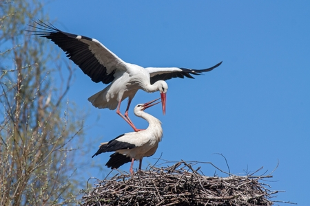 Mating white storks, ciconia ciconia. Wild animals copulating on nest with blue sky as background.