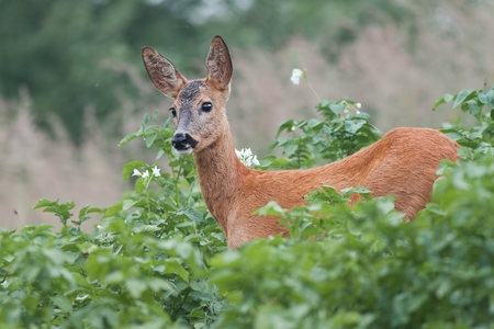 Roe Deer, Capreolus capreolus, Doe in green meadow. 版權商用圖片