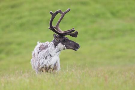 アイスランドの緑の草原で夏に雨鹿、ランギファータランダス、カリブー男性の詳細。北欧の野生動物の風景。野生動物クローズアップベルベット