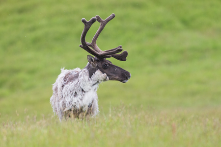 Raindeer, Rangifer tarandus, caribou male detail in summer on green grassland of Iceland. Nordic wildlife scenery. Wild animal close-up changing fur with antlers in velvet.