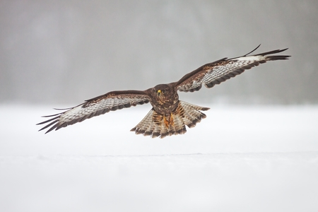 Wild common Buzzard, Buteo buteo, flying over snow. Bird of prey in flight over frosty winter country.