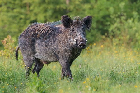 Adult male wild boar, sus scrofa, in spring fresh grassland with flowers. Dangerous wild animal with big tusks in natural forest green summer environment. Isolated strong male on blurred background. Banque d'images - 117363233