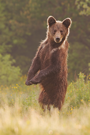 Young wild curious brown bear, ursus arctos, standing erected in upright position on rear legs and steadfast sight forward and wet fur on clear summer meadow with yellow flowers in morning backlit. Banque d'images