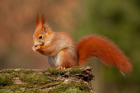 Eurasian red squirrel, sciurus vulgaris, in autmn forest in warm light. Wildlife scenery with vivid colors. Cute little animal feeding. Stok Fotoğraf