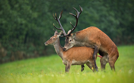 Copulating red deer, cervus elaphus, couple. Mating wild animals in wilderness. Sexual behaviour of deer in nature. Wildlife scenery in autumn during rutting season.