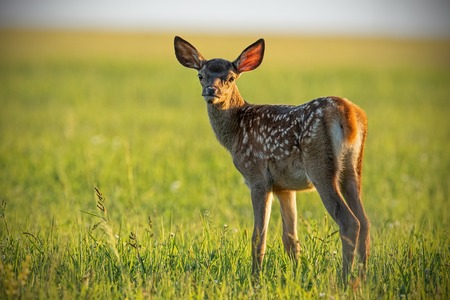 Young cute baby red deer, cervus elaphus, fawn in warm sunset light. Portrait of young cub from nature. Natural scenery with pretty animal.