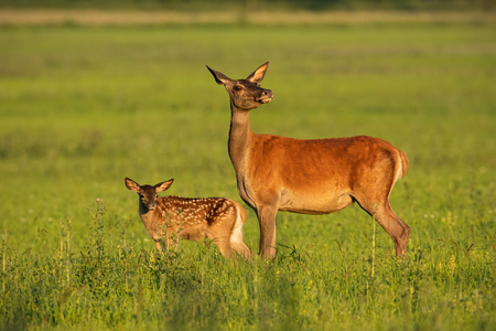 Red deer hind with calf walking at sunset. Mother and child animal in nature. Wildlife family. Female deer protecting its young.