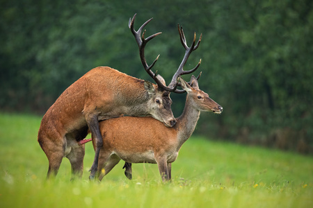 Copulating red deer, cervus elaphus, couple. Mating wild animals in wilderness. Sexual behaviour of deer in nature. Wildlife scenery in autumn during rutting season. Archivio Fotografico