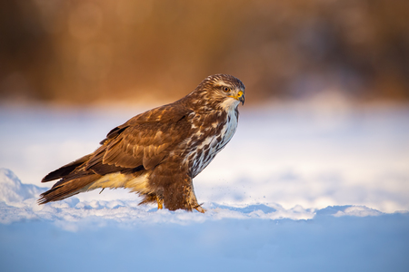 Common buzzard, buteo buteo, in winter on a snow at sunset. Wild predator in cold weather. Wildlife scenery with dangerous raptor. Contrast of warm colors and freezing environment.