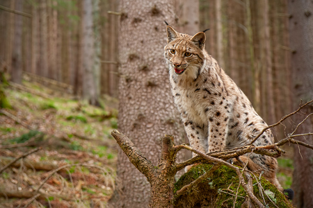 Eursian lynx standing on a windthrow in autmn forest with blurred background. Endangered mammal predator on uprooted broken tree. Stockfoto
