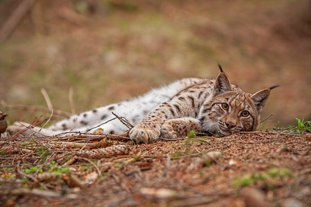 Eursian lynx laying on the ground in autmn forest with blurred background. Endangered mammal predator in natural environment. Wildlife scenery from nature.