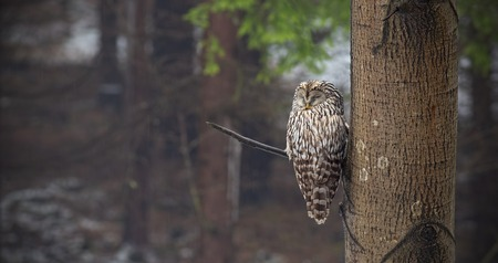Ural owl, Strix uralensis, sleeping in a forest hidden by a tree. Nocturnal bird in natural environment. Relaxed animal in nature.
