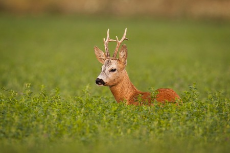 Roe deer, caprelous capreolus, buck in clover with green blurred background. Male deer roebuck in summer with soft evening light. Colorful wildlife scenery.