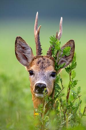 Detail of head of roe deer, capreolus capreolus, buck in summer. Close-up of wild roebuck in nature.