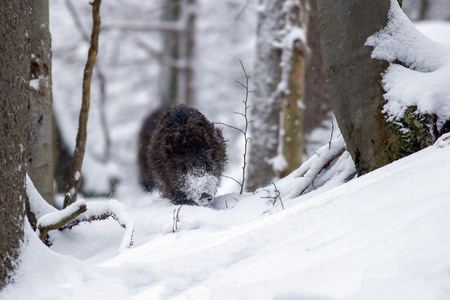 Wild boar, sus scrofa, running through forest in deep snow in winter. Wildlife scenery in cold weather with animal in nature.