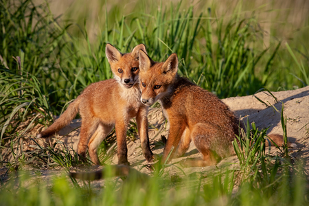 Red fox, vulpes vulpes, small young cubs near den playing. Cute little wild predators in natural environment. Brotherhood of animals in wilderness.