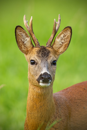 Detail of head of curious roe deer, capreouls capreolus, buck in wild. Close-up of deer in summer. Portrait of wild animal in nature. Stockfoto