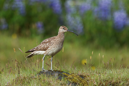 Whimbrel, Numenius phaeopus, standing on a rock with blurred with blurred violet flowers, Nootka lupine, in background. Icelandic bird close up horizontal picture. A bird species with long curled beak in Iceland. Curlew living in subarctic areas.
