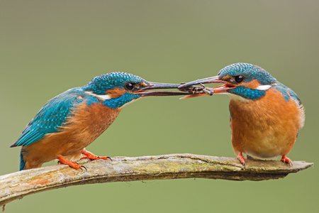 Two common kingfishers, alcedo atthis passing a fish one to another. Animal romantic couple sitting close together on a branch. Colorful wildlife scenery with birds. 스톡 콘텐츠