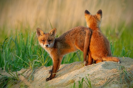 Red fox, vulpes vulpes, small young cubs near den playing. Cute little wild predators in natural environment. Baby animals in wilderness. Stock Photo