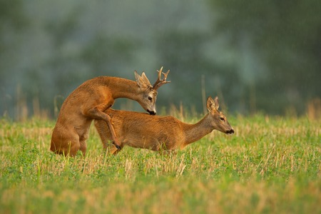 Roe deer, capreolus capreolus, couple copulating during a mating season. Wild animals reproducing. Mammals having sex. Mating behavior during rutting season in wilderness.