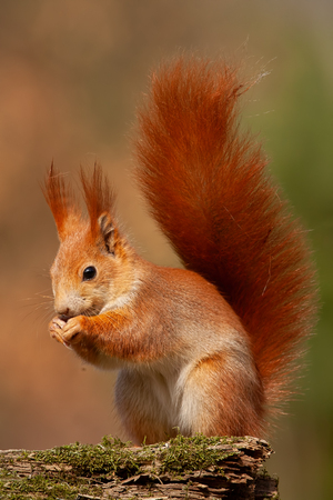 Eurasian red squirrel, sciurus vulgaris, in autumn forest in warm light. Wildlife scenery with vivid colors. Cute little animal feeding. Stock Photo