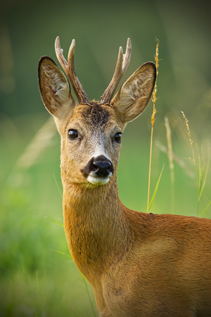 Detail of head of curious roe deer, capreouls capreolus, buck in wild. Close-up of deer in summer. Portrait of wild animal in nature with tall dry grass around.